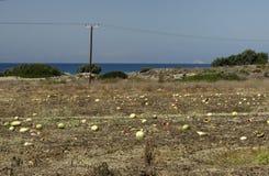 Plantação com passados melancias ao fim de setembro no Rodes Fotografia de Stock Royalty Free