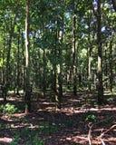 Plantação da árvore da borracha, Fazenda, Sao Paulo Stare Brazil Fotografia de Stock