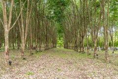 Plantação da árvore da borracha Imagens de Stock Royalty Free