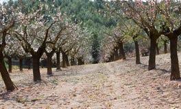 Plantação da árvore de amêndoa Imagem de Stock Royalty Free