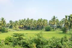 Plantação da árvore de coco mais próximo ao campo de almofada que olha impressionante no dia ensolarado imagem de stock royalty free