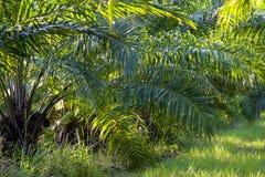 plantação da árvore do óleo de palma, planta tropical para a bio produção diesel imagens de stock royalty free