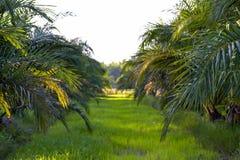 plantação da árvore do óleo de palma, planta tropical para a bio produção diesel fotos de stock royalty free