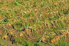 Plantação da cebola foto de stock