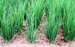 Plantação da cebola no vegetal Fotos de Stock Royalty Free