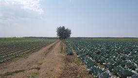 Plantação da couve Fotografia de Stock Royalty Free