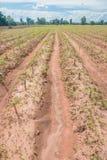 Plantação da mandioca Fotos de Stock Royalty Free