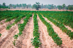 Plantação da mandioca ao nordeste de Tailândia Imagens de Stock