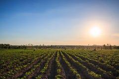 Plantação da mandioca no por do sol fotografia de stock