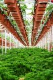Plantação da morango Fotografia de Stock Royalty Free