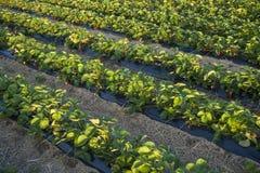 Plantação da morango Fotografia de Stock