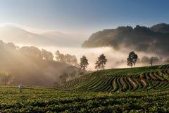 Plantação da morango de Angkhang Foto de Stock Royalty Free