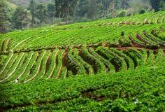 Plantação da morango em Doi Ang Khang fotos de stock