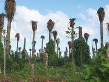 Plantação da palma imagens de stock royalty free