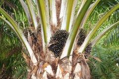 Plantação da palma de óleo Imagens de Stock Royalty Free