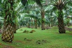Plantação da palma de óleo Imagens de Stock
