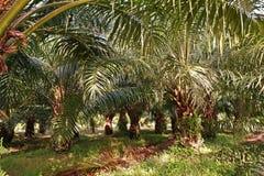 A plantação da palma de óleo, palma de óleo nova remove ervas daninhas da circunstância foto de stock royalty free