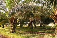 A plantação da palma de óleo, palma de óleo nova remove ervas daninhas da circunstância imagem de stock