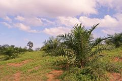 A plantação da palma de óleo, palma de óleo nova remove ervas daninhas da circunstância imagens de stock royalty free