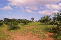 A plantação da palma de óleo, palma de óleo nova remove ervas daninhas da circunstância foto de stock