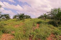 A plantação da palma de óleo, palma de óleo nova remove ervas daninhas da circunstância fotos de stock royalty free