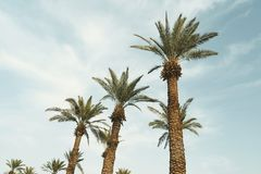 Plantação da palma de data imagens de stock royalty free