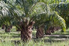 Plantação da palma de petróleo imagem de stock