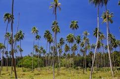 Plantação da palmeira Imagem de Stock Royalty Free