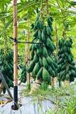 Plantação da papaia da modernização de Formosa Fotografia de Stock Royalty Free