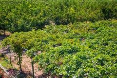 Plantação da videira, o cultivo das uvas winery colheita foto de stock royalty free