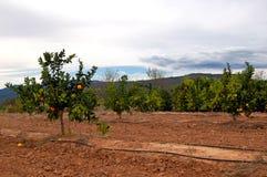 Plantação das árvores alaranjadas - Spain foto de stock royalty free