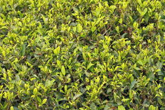 Plantação das folhas de chá Fotos de Stock Royalty Free