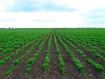 Plantação das hortaliças Fotos de Stock Royalty Free