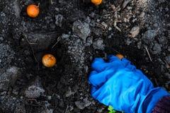 Planta??o das m?os da mulher cebolas nas camas do jardim Trabalho de jardinagem no tempo de mola imagens de stock