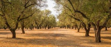 Plantação das oliveiras Fotografia de Stock