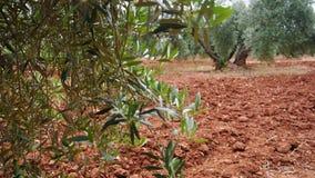 Plantação das oliveiras A câmera move-se lentamente entre as oliveiras vídeos de arquivo