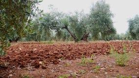 Plantação das oliveiras A câmera move-se lentamente entre as oliveiras filme