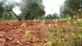 Plantação das oliveiras A câmera move-se lentamente entre as oliveiras video estoque
