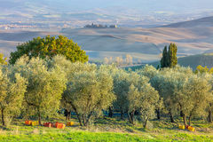 Plantação das oliveiras no tempo de colheita, landscap agrícola fotografia de stock