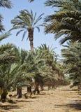 Plantação das palmas de tâmara Imagens de Stock Royalty Free