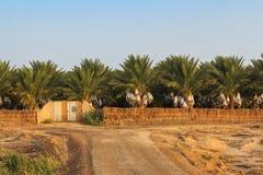 Plantação das palmas de tâmara fotografia de stock