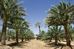 Plantação das palmas de tâmara, Israel imagem de stock