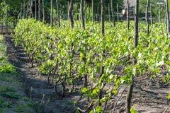 Plantação das uvas amarradas acima em polos de madeira Imagens de Stock Royalty Free