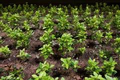 Plantação de árvore. Imagem de Stock