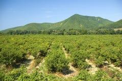 Plantação de árvores de fruta fotos de stock royalty free