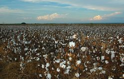 Plantação de algodão na exploração agrícola imagens de stock royalty free