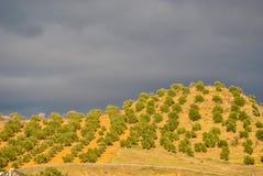 Plantação de azeitonas Imagens de Stock