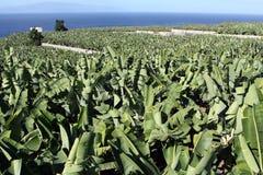 Plantação de banana Fotos de Stock