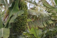Plantação de banana em Tenerife, Ilhas Canárias na estação do inverno foto de stock
