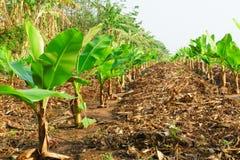 Plantação de banana Exploração agrícola da banana Plantas de banana novas em rural distante Imagem de Stock Royalty Free
